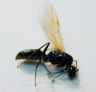 carpenter ant swamer
