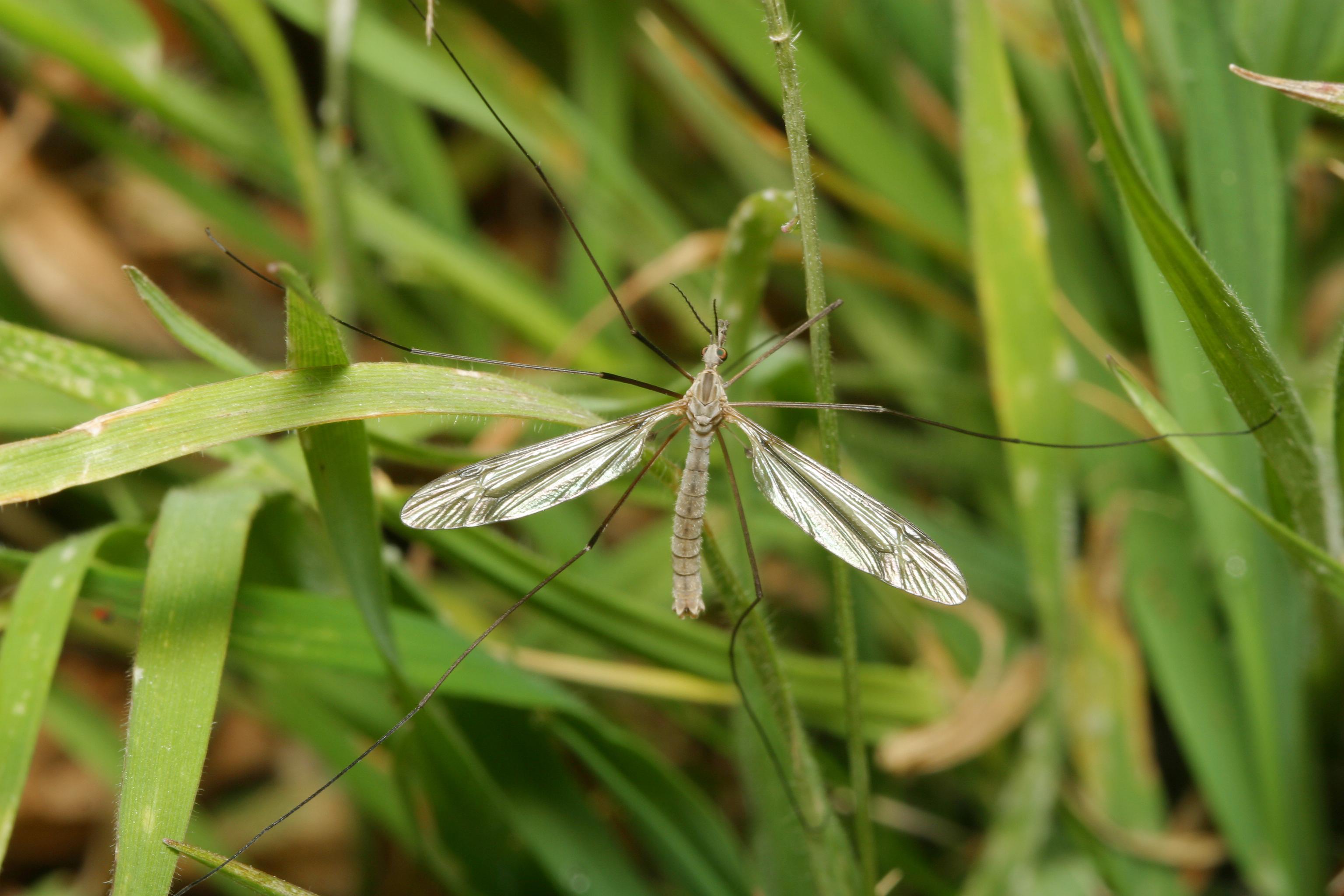 crane fly2