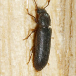Lyctid powderpost beetle