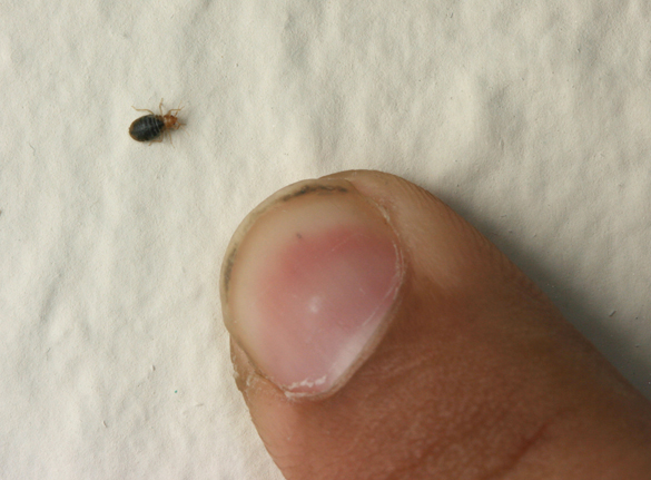 Charmant Bed Bugs Are Small, And Come Out Mostly At Night.