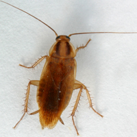 German cockroach with two dark stripes behind head