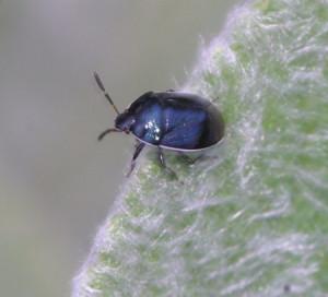 white margined burrower bug