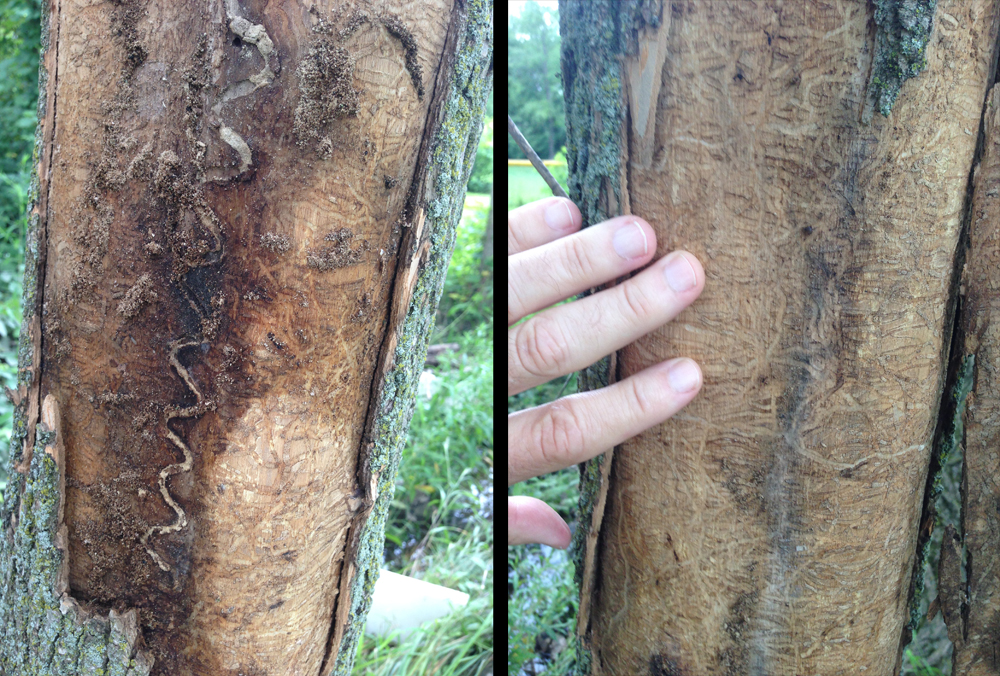 The S-shaped galleries of emerald ash borer serve to distinguish it from all other borers attacking ash. Photo by M. Merchant, Texas A&M AgriLife.