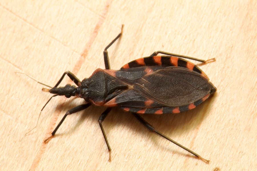 . Kissing bug identification requires closer look   Insects in the City