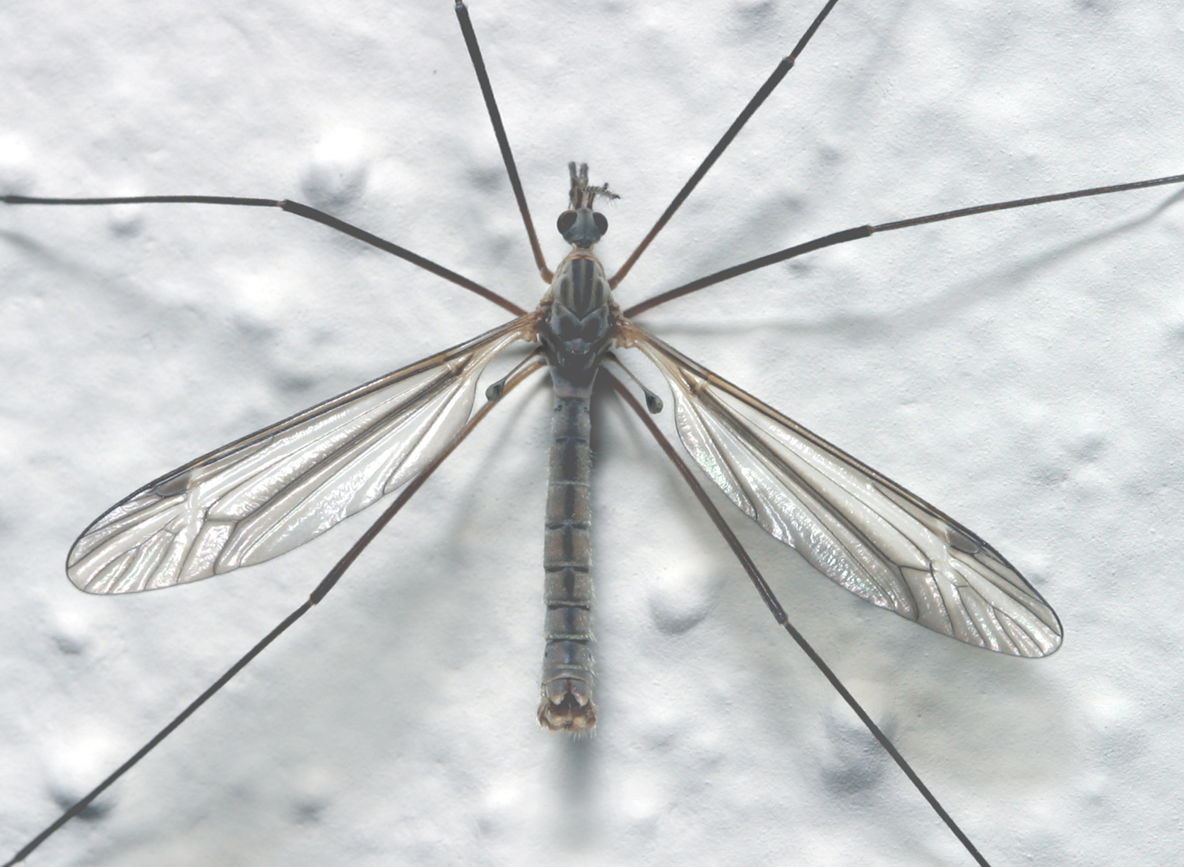 The Long Legged Crane Flies Are One Of The Early Insect Harbingers Of Spring