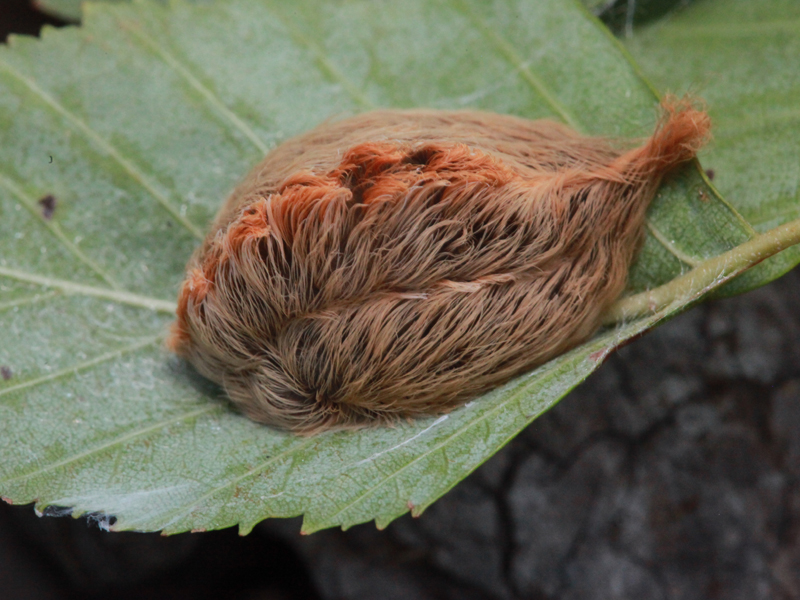 stinging caterpillar