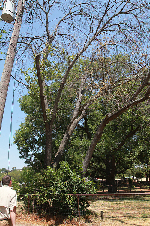 Dying ash tree in Tarrant County