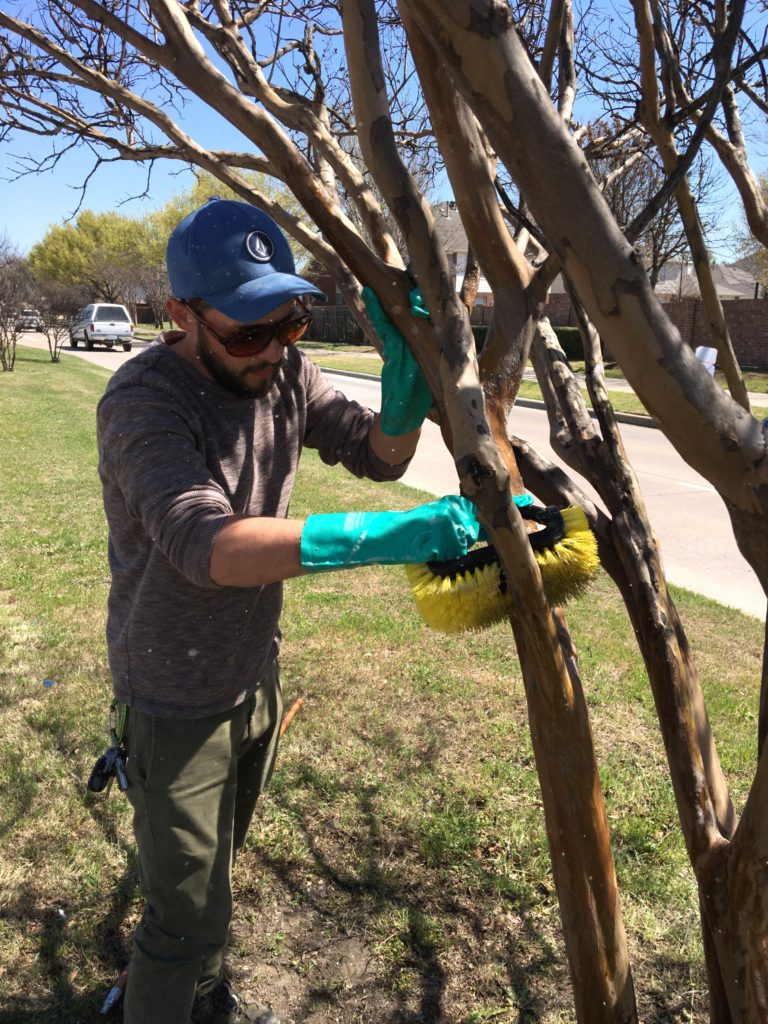 scrubbing crapemyrtle trees for sooty mold