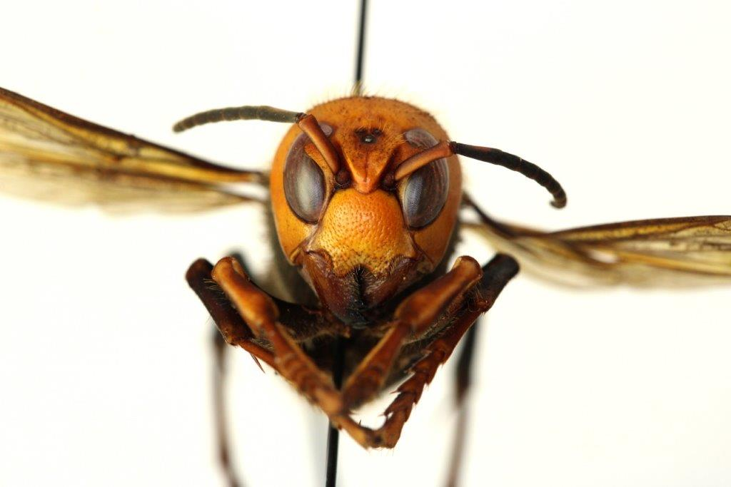 face of Asian giant hornet